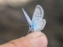 La farfalla si siede su un dito Fotografia Stock Libera da Diritti