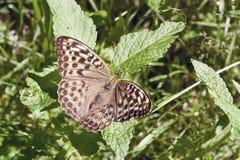 La farfalla si siede su uno strato Fotografie Stock
