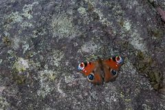 La farfalla si siede sulla pietra fotografia stock libera da diritti