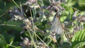 La farfalla sorvola il prato stock footage
