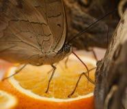la farfalla sta mangiando il succo d'arancia Immagine Stock