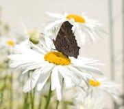 La farfalla sta succhiando il nettare dalla margherita di luna fotografia stock libera da diritti