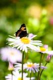 La farfalla su un camomile-2 immagine stock libera da diritti