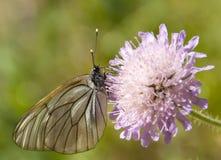 La farfalla sul fiore Fotografia Stock