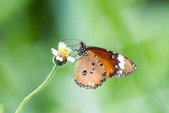 La farfalla sulla foglia verde Fotografia Stock