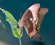 La farfalla tropicale Fotografie Stock