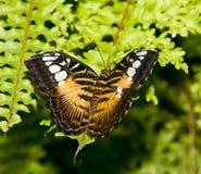La farfalla tropicale Immagini Stock