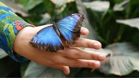 La farfalla tropicale blu di Morpho fotografia stock libera da diritti