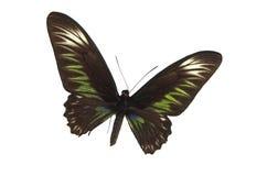 La farfalla verde 4 Fotografia Stock