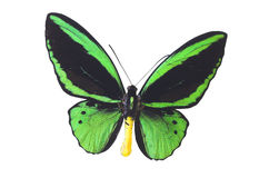 La farfalla verde 6 Fotografie Stock