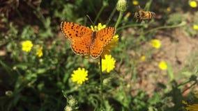 La farfalla verde scuro della fritillaria Fotografia Stock