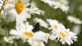 La farfalla vola dal fiore al fiore Albero nel campo video d archivio