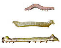La farfalla worms l'isolamento Immagine Stock Libera da Diritti