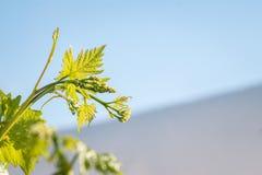 La fase della stagione di crescita in uva - fiorendo Fotografia Stock Libera da Diritti