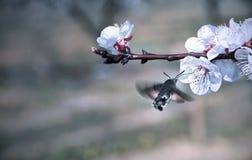 Hummingmoth pollinisent une fleur image libre de droits