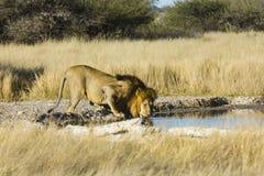 La fauna selvatica della riserva di caccia centrale di Kalahari immagine stock
