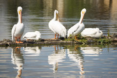 La faune d'Amimal d'oiseau de pélican vole dans le lac Klamath landing Photo stock