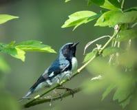 La fauvette bleue throated noire se repose sur une branche photographie stock