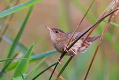 La fauvette commune masculine adulte de sauterelle se repose profondément dans l'herbe image libre de droits