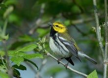 La fauvette verte Throated noire chante une jolie chanson Photos libres de droits