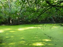 La feccia delle alghe verdi pela lo stagno fotografia stock libera da diritti
