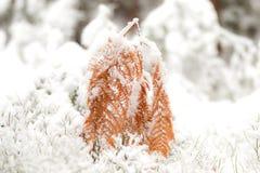 La felce è coperta di neve immagini stock libere da diritti