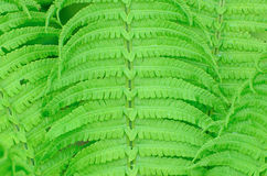 La felce bagnata verde lascia il fondo Fotografie Stock