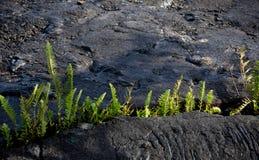 La felce di Amau attraversa il giacimento di lava vicino a Kalapana Fotografia Stock