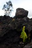 La felce di Amau passa attraverso la catena di strato della lava vicino della strada dei crateri Fotografia Stock