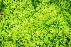 La felce verde fresca lascia il fondo dei involvens del Selaginella (interruttore ) Primavera Felce dei involvens del Selaginella fotografia stock libera da diritti