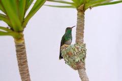 La femelle Éclatant-s'est gonflée le colibri vert, Chlorostilbon Lucidus, lui alimentant deux poussins dans leur nid, le Brésil photos stock