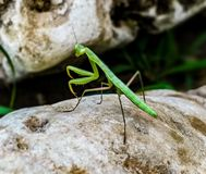 La femelle, dans l'âge adulte, a environ 7 ans 5 cm longs, les 6 masculins cm L'abdomen des spécimens masculins est divisé en hui images stock