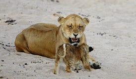 La femelle de lion avec des petits animaux se repose sur le sable Image stock