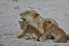 La femelle de lion avec des petits animaux se repose sur le sable Images stock