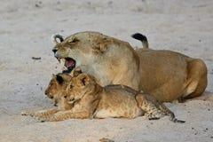 La femelle de lion avec des petits animaux se repose sur le sable Photographie stock libre de droits