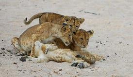 La femelle de lion avec des petits animaux se repose sur le sable Photos libres de droits