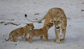 La femelle de lion avec des petits animaux se repose sur le sable Images libres de droits