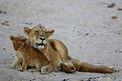 La femelle de lion avec des petits animaux se repose sur le sable Image libre de droits