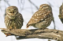 La femelle et le mâle des jeunes hiboux Images libres de droits