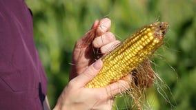 La femelle remet le plan rapproché Un agriculteur tient un épi de maïs et vérifie sa qualité Moisson, agriculture cornfield banque de vidéos