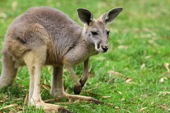 La femelle rouge de kangourou (rufus de Macropus) Images stock