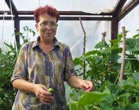 La femme agée avec la culture des concombres en serre chaude est Photo stock