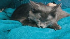 La femme avec une belle manucure caresse un chat gris que les yeux fermés et ronronne doucement masser et sucer la couverture banque de vidéos