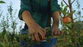 La femme de mouvement lent prend les pommes rouges de la branche d'arbre banque de vidéos