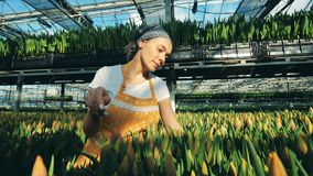 La femme heureuse vérifie les tulipes fraîches en terre et les sélectionne clips vidéos