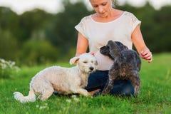 La femme joue avec deux chiens hybrides de terrier dehors Image libre de droits