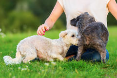 La femme joue avec deux chiens hybrides de terrier dehors Image stock