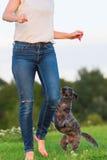 La femme joue avec un chien hybride de terrier sur un pré Photos stock