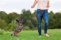 La femme joue avec un chien hybride de terrier sur un pré Photo libre de droits