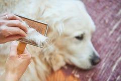 La femme peigne le vieux chien de golden retriever avec un peigne de toilettage en métal images stock